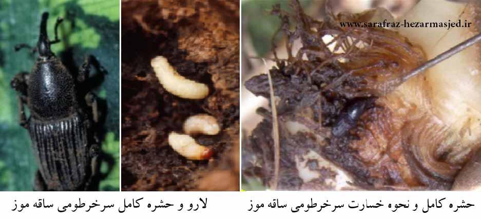سرخرطومی ساقه موز (Odoiporus longicollis (Col., Curculionidae