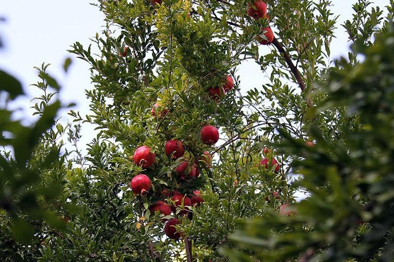 فصل برداشت انار در کردستان