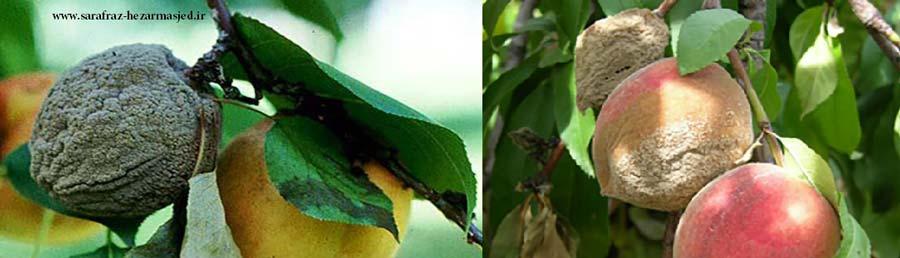 علایم خسارت بیماری مومیایی درختان میوه ( Monilinia Fructicola )