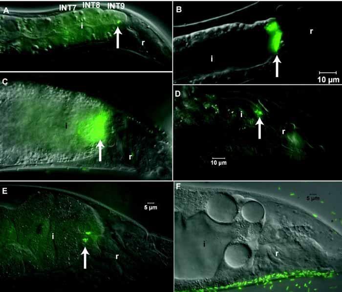 کاربرد نماتدها در کنترل بیولوژیکی حشرات ( همزیستی نماتد و باکتری , ارتباط بین باکتری های همزیست و نماتدها )
