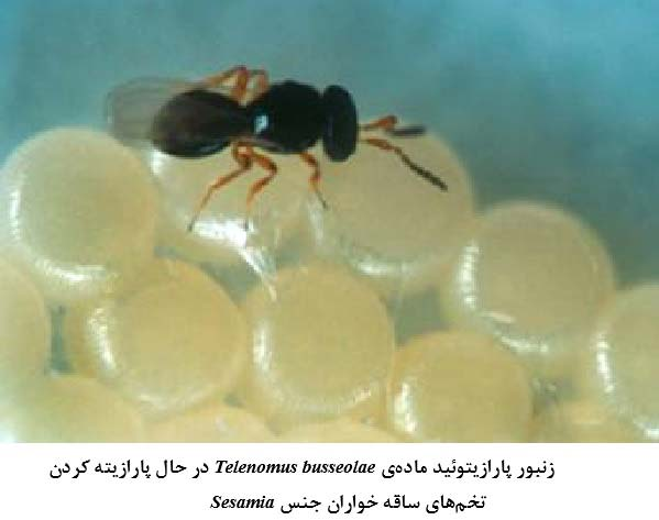 زنبور پارازیتویید Telenomus basseolae Gahan (Hym.: Scelionidae)