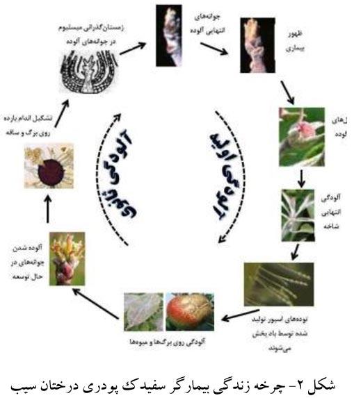 چرخه عامل سفیدک پودری سیب