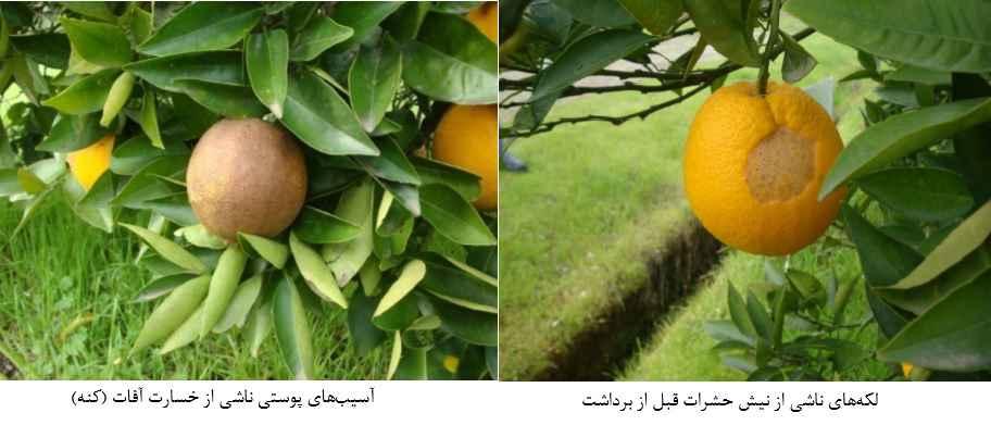 لکه های ناشی از نیش حشرات و علایم خسارت کنه روی نارنگی