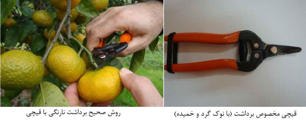 قیچی مخصوص برداشت نارنگی و روش صحیح برداشت نارنگی با قیچی