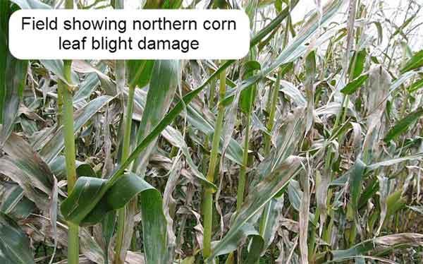 مزرعه آلوده به بیماری بلایت شمالی برگ ذرت