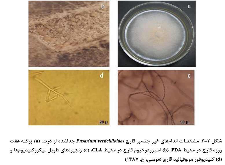 مشخصات اندامهاي غیر جنسی قارچ Fusarium verticillioides جداشده از ذرت. (a) پرگنه هفت روزه قارچ در محیط PDA، (b) اسپرودوخیوم قارچ در محیط CLA، (c) زنجیره هاي طویل میکروکنیدیومها و (d) کنیدیوفور مونوفیالید قارچ
