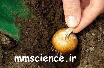 تولید مثل گیاه با پیاز