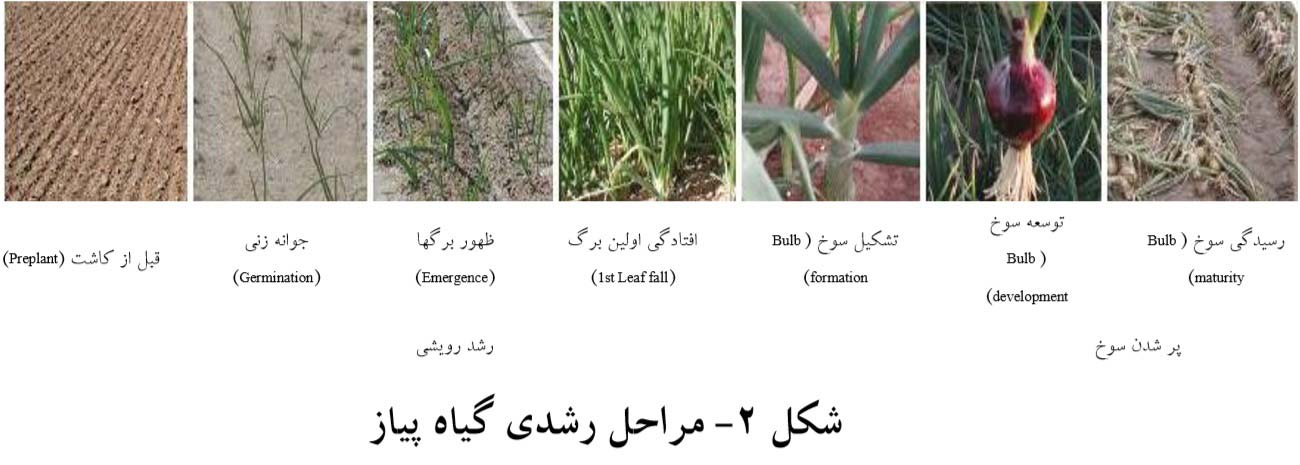 مراحل رشدی گیاه پیاز