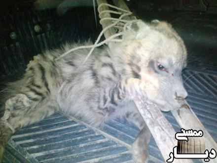 نجات جان یک قلاده کفتار در روستای شور جونگان