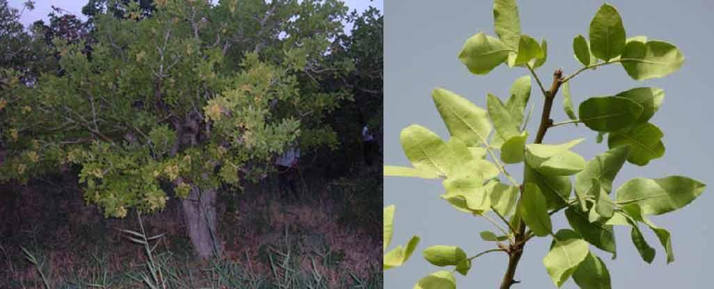 علایم کمبود آهن در درختان پسته