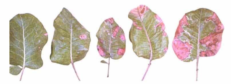 علایم کمبود فسفر در برگ درختان پسته