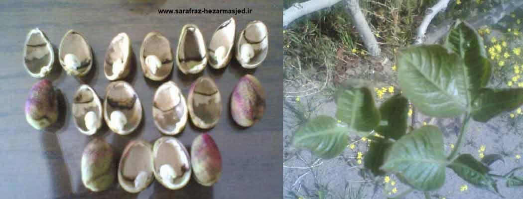 علایم کمبود کلسیم در درختان پسته