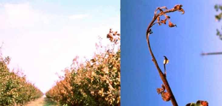 علایم کمبود مس در باغات پسته