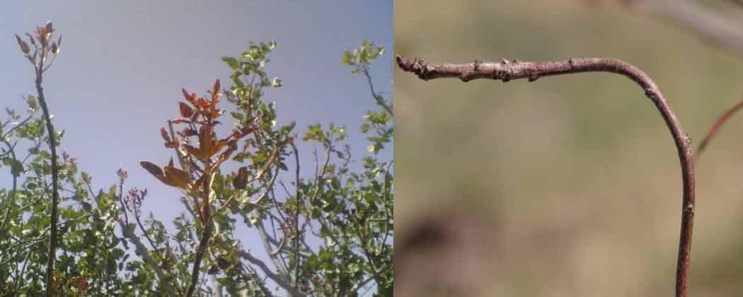 علایم کمبود مس در درختان پسته