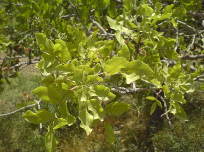 علایم کمبود نیتروژن در درختان پسته