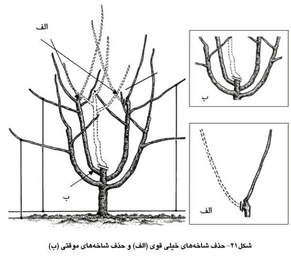 حذف شاخه های خیلی قوی و شاخه های موقتی