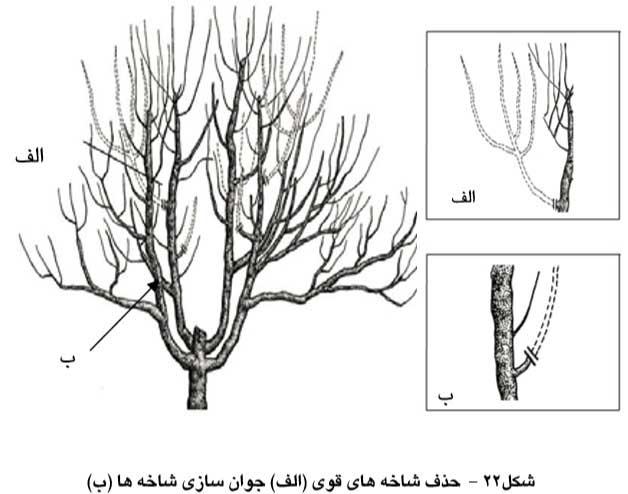 حذف شاخه های قوی و جوان سازی شاخه ها
