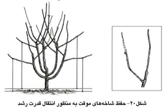 حفظ شاخه های موقت به منظور انتقال قدرت رشد
