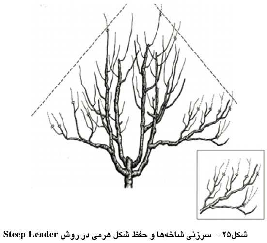 سرزنی شاخه ها و حفظ شکل هرمی در روش Steep Leader