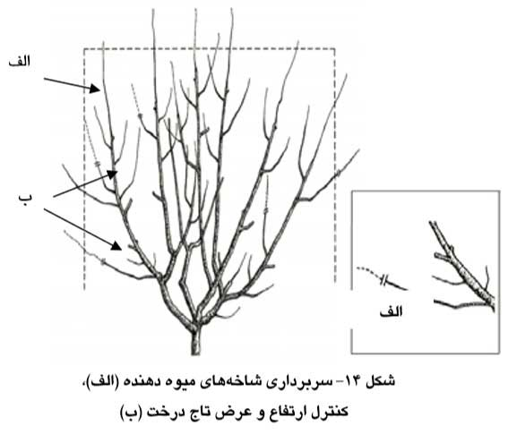 سربرداري شاخه هاي میوه دهنده (الف)، کنترل ارتفاع و عرض تاج درخت (ب)