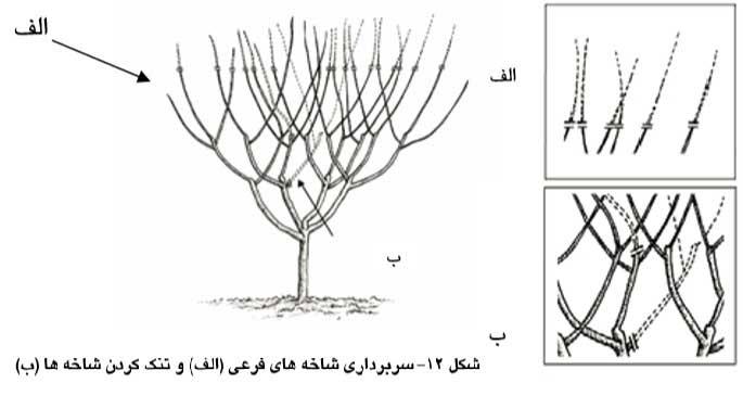 سربرداری شاخه های فرعی و تنک کردن شاخه ها
