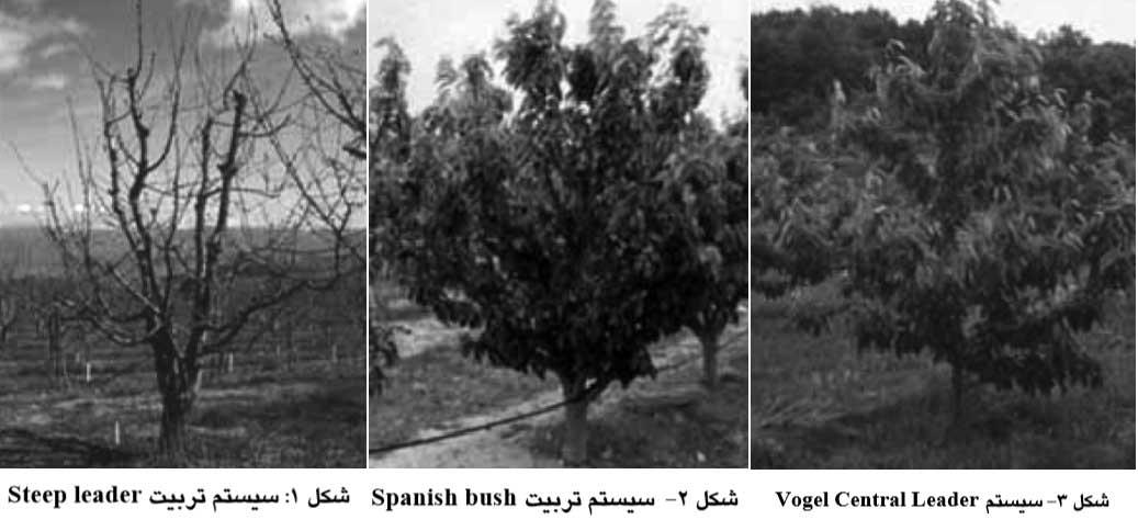 انواع سیستم های تربیت گیلاس - سیستم Steep leader - سیستم Spanish bush - سیستم Vogel Central Leader