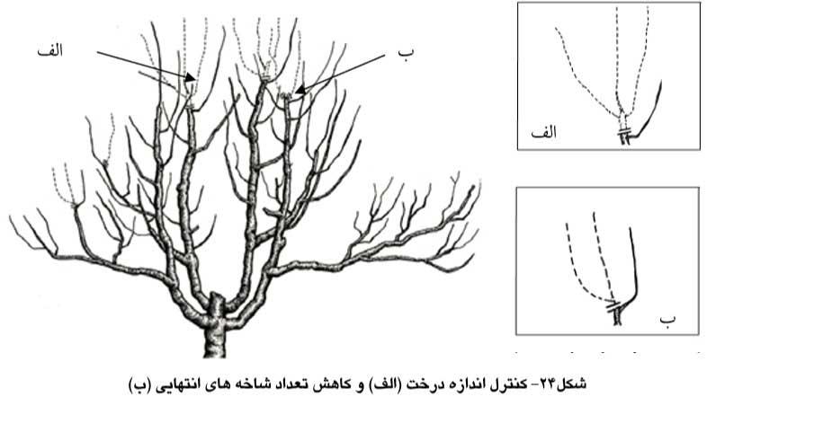 کنترل اندازه درخت وکاهش تعداد شاخه های انتهایی