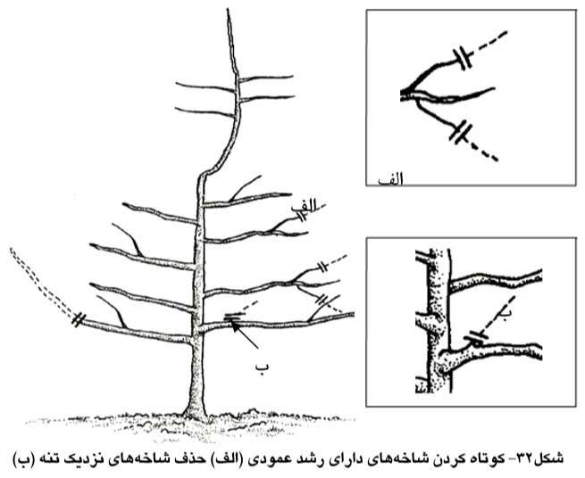کوتاه کردن شاخه های دارای رشد عمودی و حذف شاخه های نزدیک تنه