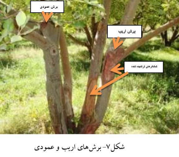 برش های اریب و عمودی برای هرس و پانسمان زخمهای شانکر