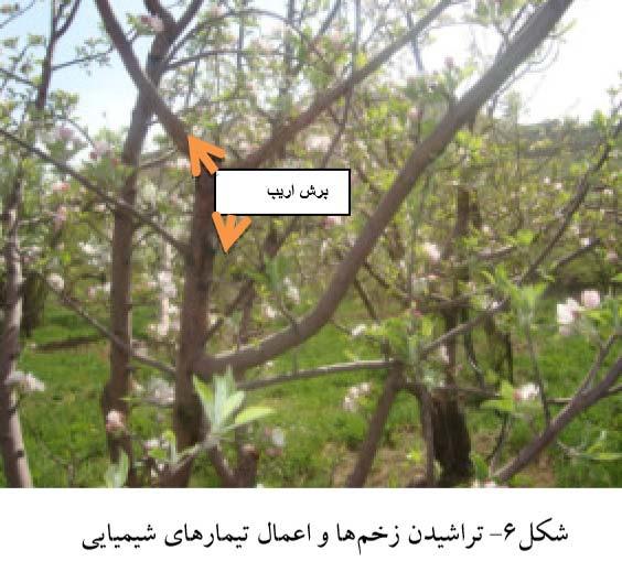 تراشیدن زخمهای شانکر و اعمال تیمارهای شیمیایی