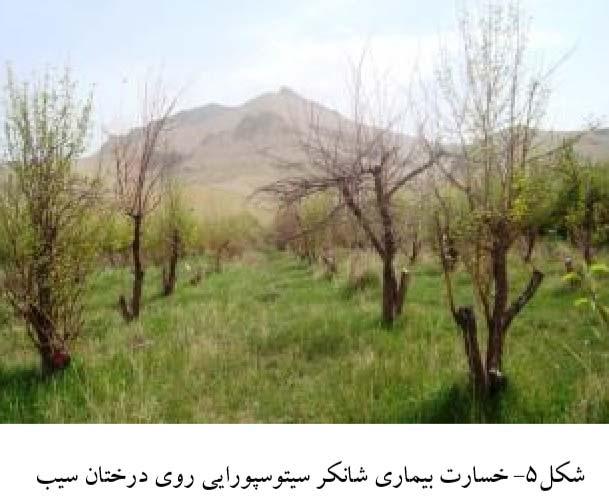 خسارت بیماری شانکر سیتوسپورایی روی درختان سیب