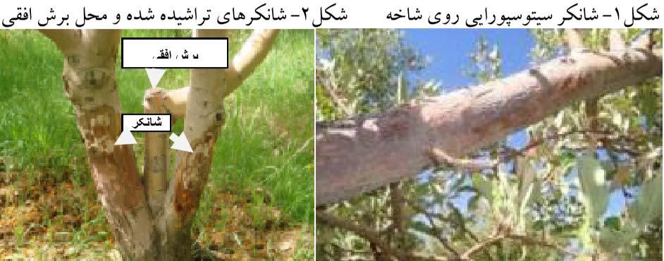 شانکر سیتوسپورایی روی شاخه و شانکرهای تراشیده شده و محل برش افقی روی درخت