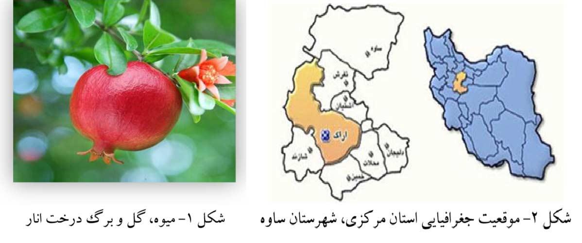 میوه گل و برگ درخت انار و نقشه پراکنش بیماری نماتد در شهر ساوه