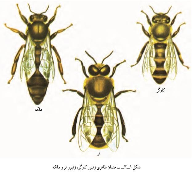ساختمان ظاهری زنبور کارگر - زنبور ملکه -زنبور نر