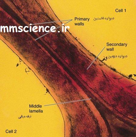 وظایف دیواره سلولی در گیاهان