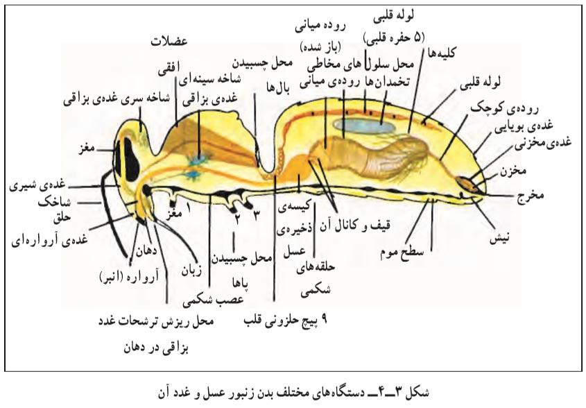 دستگاه های مختلف بدن زنبور عسل و غده های آن