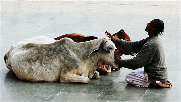 پرستش گاو در هند