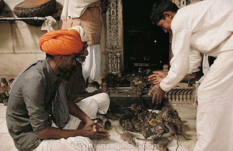 پرستش موش در هند