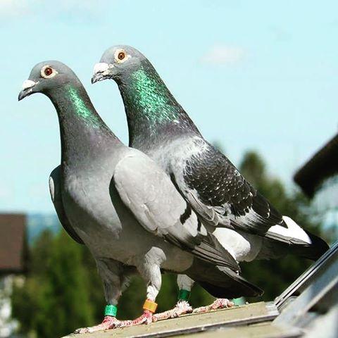 http://s9.picofile.com/file/8327526334/16230212_makanyabi_kabotar_pigeonracing.jpg