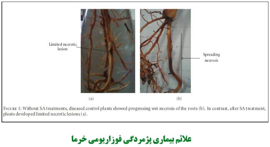 علائم بیماری پژمردگی فوزاریومی خرما