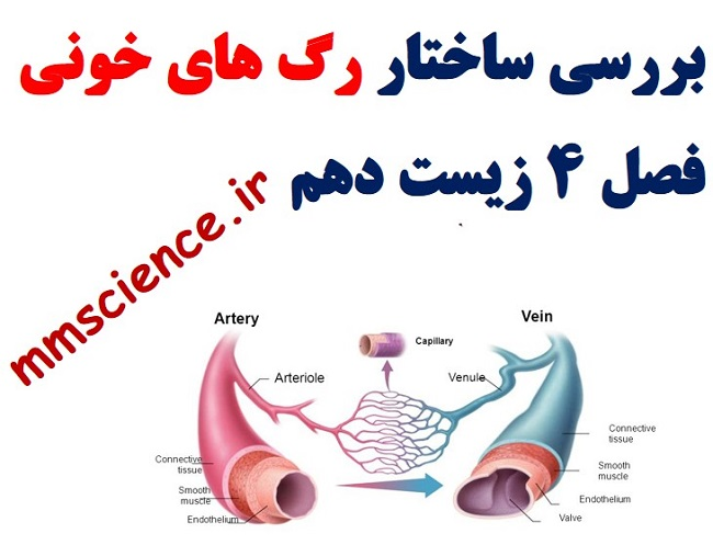 بررسی ساختار رگ های خونی