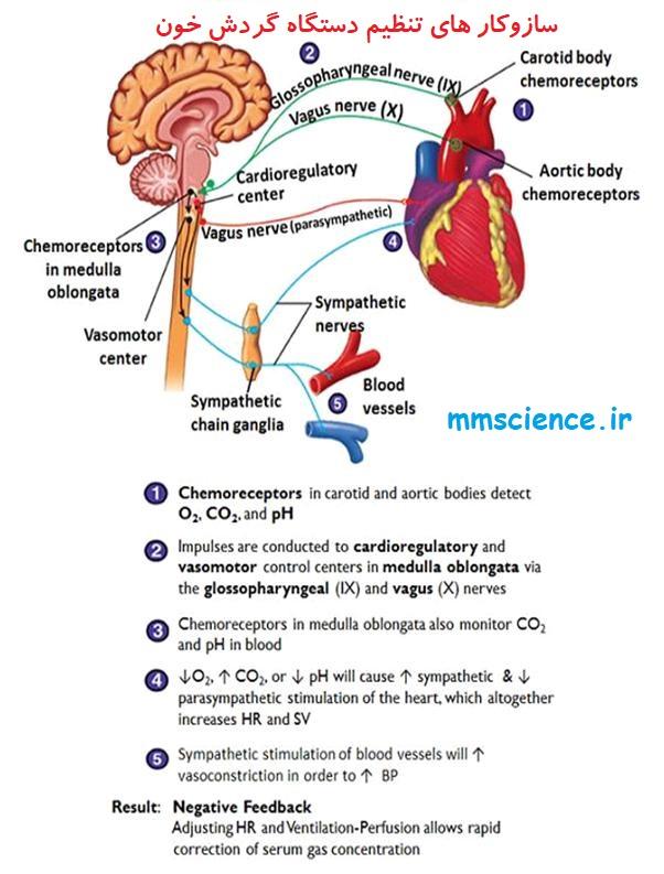 مکانیسم های تنظیم دستگاه گردش خون