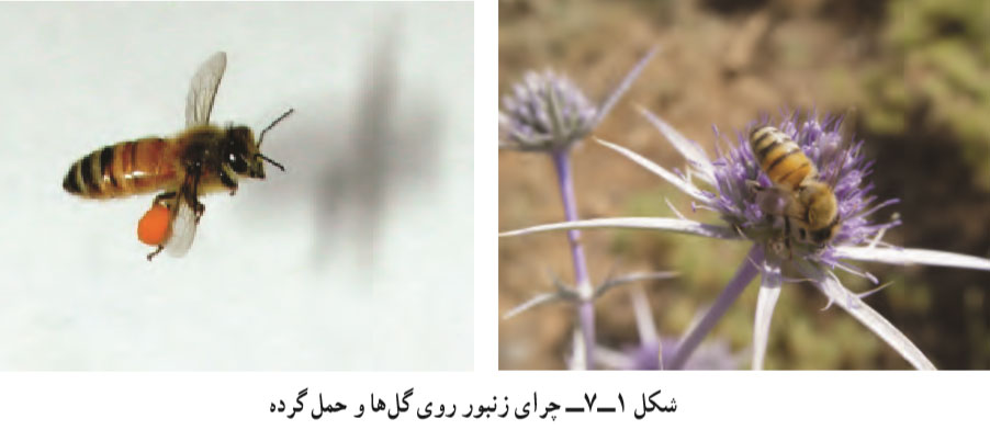 چرای زنبور عسل روی گل ها و حمل گرده