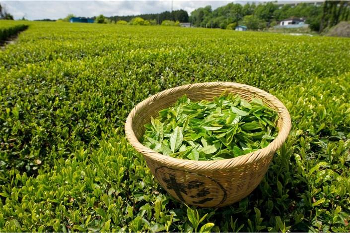 انتقاد سازمان چای از ممنوعیت صادرات چای ایرانی؛ بازارهای هدف را از دست میدهیم