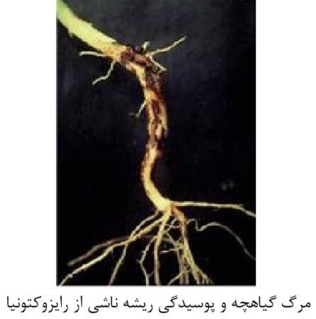 مرگ گیاهچه و پوسیدگی ریشه ناشی از رایزوکتونیا