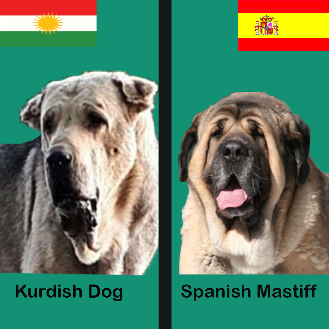 Kurdish Dog Pshdar-Pshdar Dog VS spanish Mastiff