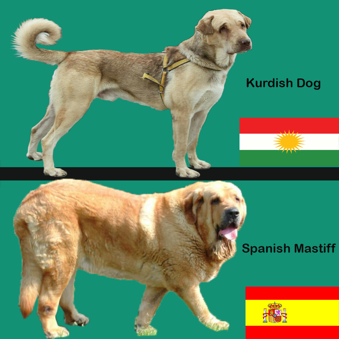 Kurdish Dog Pshdar-Pshdar Dog VS spanish Mastiff