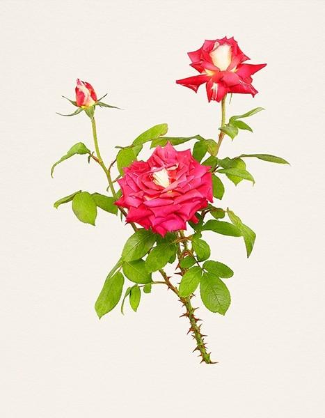 [تصویر:  flower5.jpg]