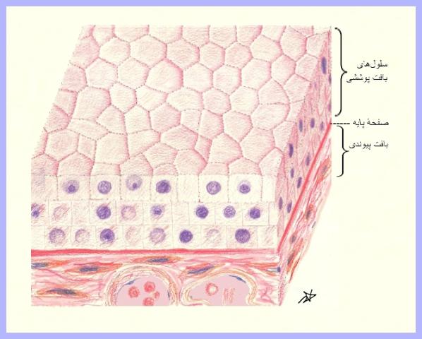 پاو وینت آماده سلول و بافت شناسی پاو وینت سلول و بافت شناسی پاو وینت در مورد سلول شناسی وبافت شناسی انسانی