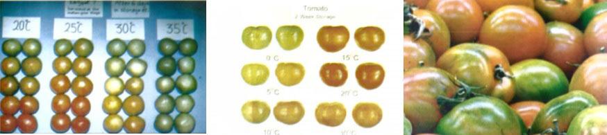 درجه ها مختلف رسیدن گوجه فرنگی